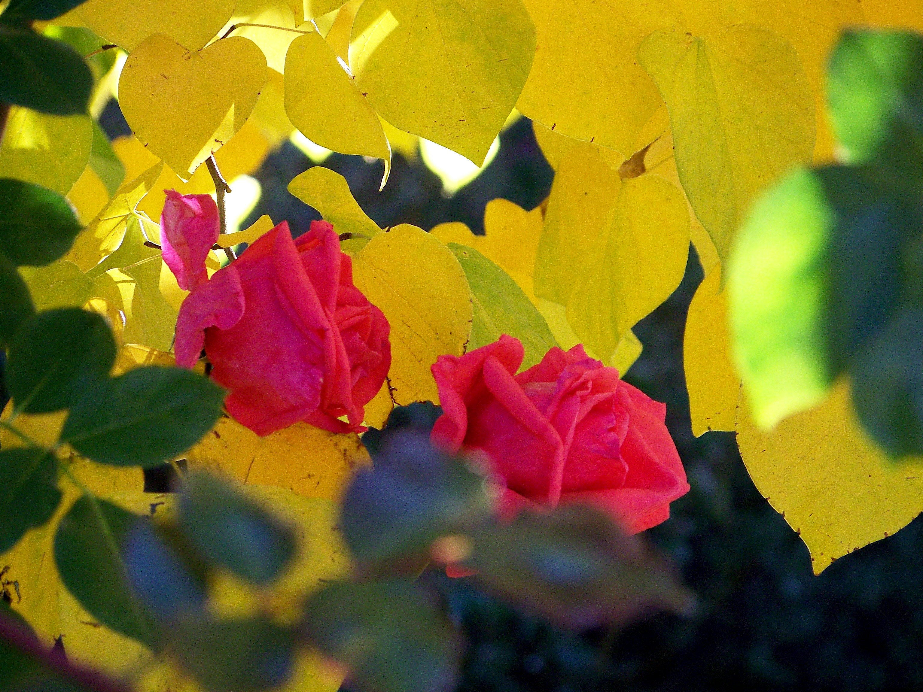 Red roses against yellow leaves